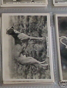 #47Coursing '35 dee rock grey hound racin cigarete card