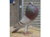 Horseman pouter pigeons