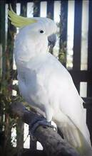 RSPCA LOST BIRD - MEMPHIS AID869446 - Chapel Hill - 25/05/16 Sherwood Brisbane South West Preview