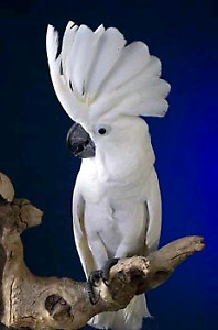 Looking to purchase an umbrella cockatoo