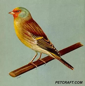 Wanted :European Gold finch cross with Canary