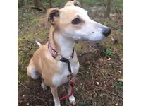 MISSING SANDY AND WHITE LURCHER FROM FOREST OF DEAN