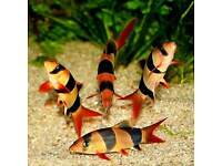 Clown loach - Chromobotia macracanthus - Approx 3 Inch - Tropical Fish - £7 each or x5 for £30