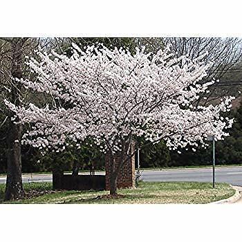 Yoshino Flowering Cherry Tree 1 seedling, -