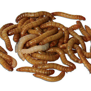 Live Mealworms