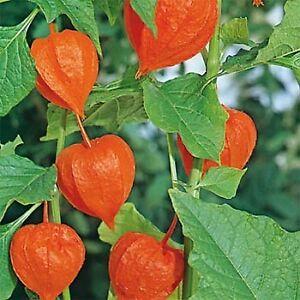 Chinese Lantern (Halloween Plants) perennials 2 for $10