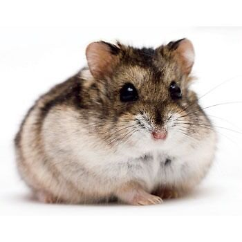 2 dwarf hamsters for sale with cage and bedding - male & female