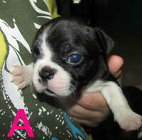 Red & Dark Brindled Boston Terrier Puppies ..Females