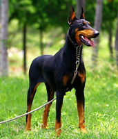 Doberman Pinscher/2 years old or younger/Male