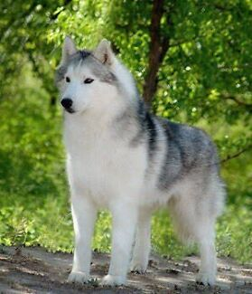 Wanted husky puppy  Cairns 4870 Cairns City Preview