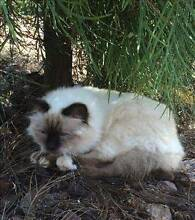 RSPCA LOST CAT - ARCHIE AID918164 - COTSWOLD HILL - 08/02/16 Cotswold Hills Toowoomba City Preview