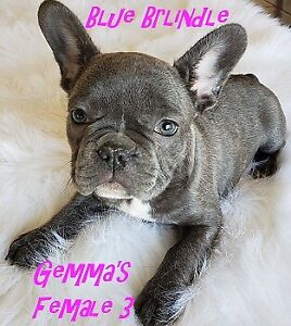French Bulldog Bulldog Puppies Kijiji In Alberta Buy Sell