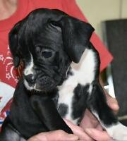 CKC Registered 1 Stunning Female Boxer Puppy Available 6 Wks old