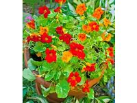 Nasturtium Seeds (pk of 30) Whirlybird Mix - Harvested Autumn 2016 - plant Spring 2017