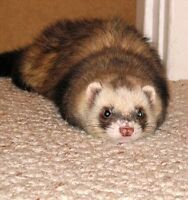 Ferret only 8 months old