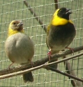 Cuban finches 2015 banded male and female for sale