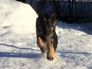 Purebred CKC reg'd German Shepherd Puppies