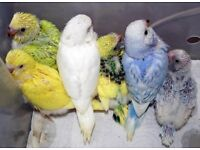 Baby budgies available