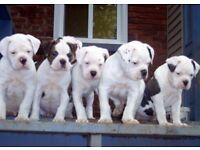 American Bulldog Puppies Ready Now