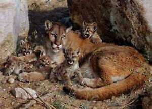Rocky Camp - Cougar Family