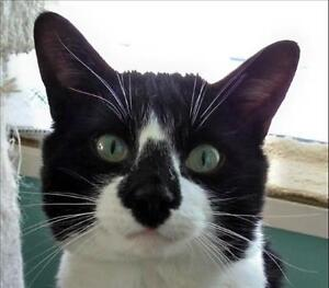 """Adult Male Cat - Domestic Short Hair: """"Toddy"""""""