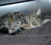 """Adult Male Cat - Domestic Short Hair: """"George"""""""