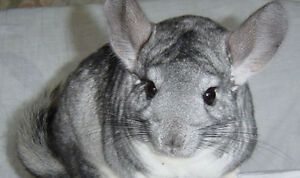 Facebook Group for Chinchilla owners or soon to be.