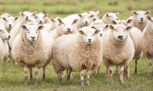 Wanting to purchase bread sheep