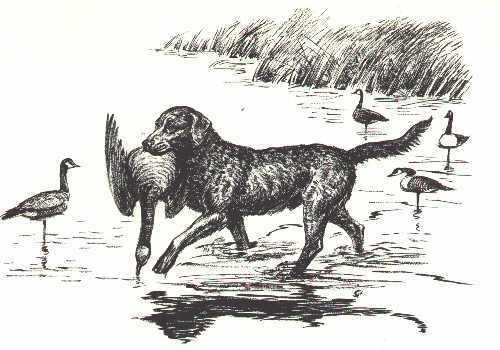 CHESAPEAKE BAY RETRIEVER - 1964 Dog Art Print - MATTED