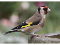 Goldfinch Hen Wanted!