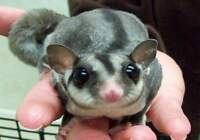 Sugar Gliders and supplies