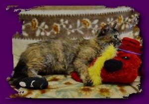 "Adult Female Cat - Domestic Medium Hair: ""Selina"""