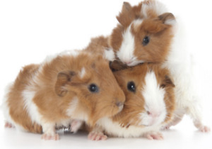 PET SITTING SPECIALIZE FOR GUINEA PIG ALL INCLUDED