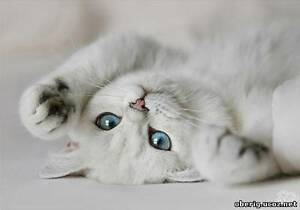 Looking for a white British cat or scottish fold cat
