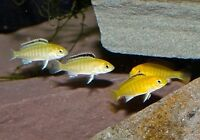 Baby Yellow labs. cichlids
