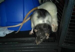 "Adult Male Small & Furry - Rat: ""Danny & Bailey"""