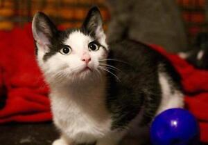 """Young Male Cat - Domestic Short Hair: """"Dock Lakeisle"""""""