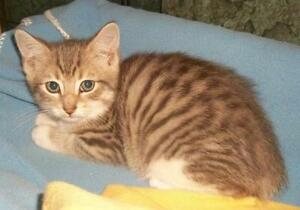 "Young Male Cat - Domestic Short Hair-Tabby: ""Arlo"""