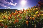california-poppies-boutique