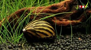 5 x Zebra nerite algae eating snail Tropical Aquarium live