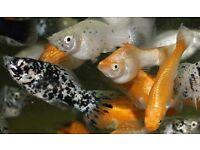 1 PAIR ASSORTED SAILFIN MOLLIES TROPICAL FISH