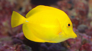chrurgien jaune yellow tang large