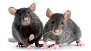 Looking for live feeder mice or rats
