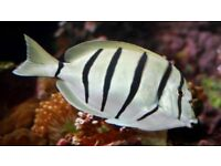 MARINE FISH / CONVICT TANGS LOVELY FISH FEEDING WELL