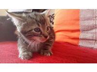 Kittens 2X last
