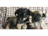 Long coat Chihuahua puppies