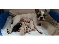 Free French bullodog puppies