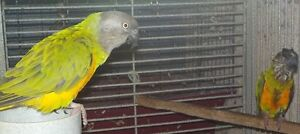 Pair of Senegal parrots for sale with cage/nestbox only $500