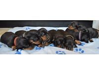 Dachshund Puppies KC registered Smooth haired black and tan standard sausage dogs