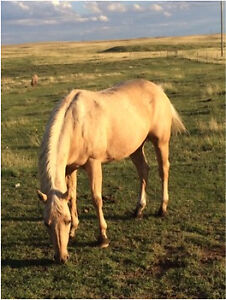 Palomino Mare for Sale